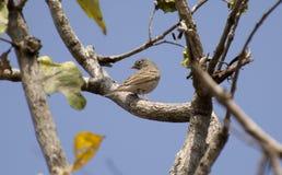 Сер-necked овсянка или Сер-с капюшоном овсянка Стоковое Изображение RF