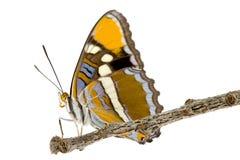 сестра california бабочки Стоковое Изображение RF
