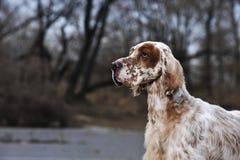 Сеттер любимчика собаки английский Стоковые Изображения RF