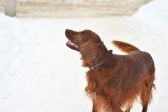 Сеттер породы собаки ирландский красный Стоковые Фотографии RF