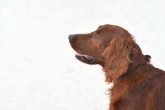 Сеттер породы собаки ирландский красный Стоковое фото RF