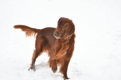 Сеттер породы собаки ирландский красный Стоковая Фотография RF