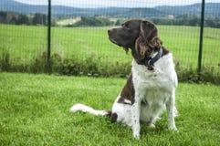 Сеттер собаки играет на траве Стоковые Изображения RF