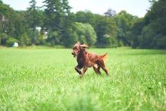 Сеттер счастливой собаки ирландский бежать на траве в лете Стоковая Фотография