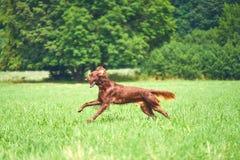 Сеттер счастливой собаки ирландский бежать на траве в лете Стоковое Изображение