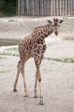 Сетчатое reticulata camelopardalis Giraffa жирафа стоковое фото rf