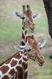 Сетчатое reticulata camelopardalis Giraffa жирафа стоковая фотография