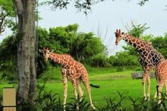 2 жирафа смотря камеру Стоковые Изображения