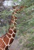 Сетчатый жираф есть листья стоковое изображение rf