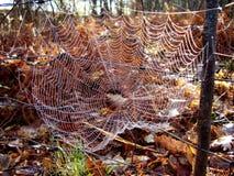 Сеть европейского паука сада Стоковое Изображение RF