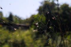 сеть мухы Стоковые Изображения