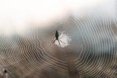 Сеть паука в утре Стоковое фото RF