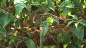 Сеть паука золота сток-видео