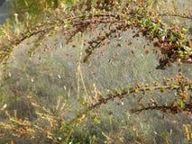 Сеть паука на ветви на кусте Стоковое Изображение