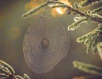 Сеть паука на ветви сосны стоковое изображение rf