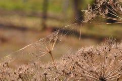 Сеть паука на высушенном заводе Стоковые Фото