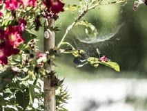 Сеть паука на красном заводе цветков Стоковое Изображение RF