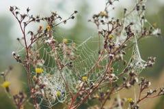 Сеть паука на цветке покрытом с росой Стоковые Фотографии RF