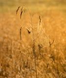 Сеть паука на cornflower Стоковое Изображение