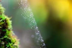Сеть паука с падениями воды Росток и зеленая предпосылка мха, дерево с зеленым мхом вебсайт обоев пользы tan 2 теней представлени Стоковая Фотография RF