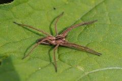 сеть паука pisaura питомника mirabilis Стоковое Изображение RF