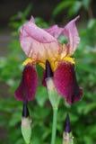 сеть универсалии шаблона страницы радужки приветствию цветка карточки предпосылки Стоковое Изображение RF