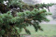 Сеть furtree зеленого цвета природы росы Стоковая Фотография