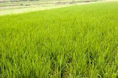 сец риса стоковые фотографии rf