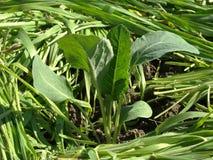 сец cauliflower Стоковая Фотография