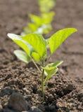 сеянцы баклажана Стоковая Фотография RF