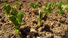 сеянцы зеленого гороха Стоковые Изображения RF