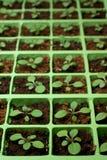 сеянцы петуньи экземпляра клетки размечают поднос стоковые изображения rf