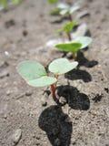 сеянцы редиски Стоковая Фотография