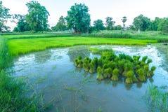 сеянцы риса Стоковые Фотографии RF