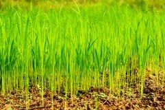 Сеянцы риса Стоковое Изображение RF