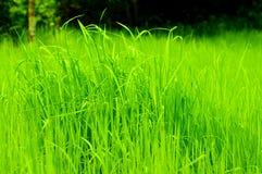 Сеянцы риса Стоковое Изображение
