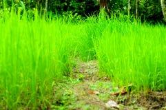Сеянцы риса Стоковая Фотография