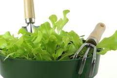 сеянцы салата Стоковое Изображение