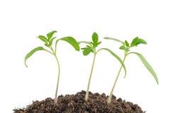 Сеянцы томата Стоковые Фото