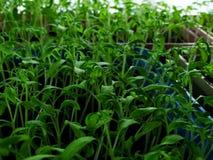 Сеянцы томата Стоковое Фото