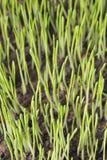 сеянцы ячменя Стоковая Фотография RF