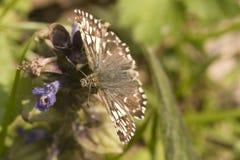 Седая бабочка шкипера Стоковые Фотографии RF