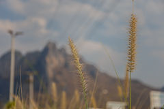 Селективный фокусировать цветка травы стоковые фото