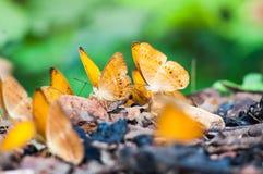 Селективный фокус бабочки пар в природе Стоковая Фотография RF