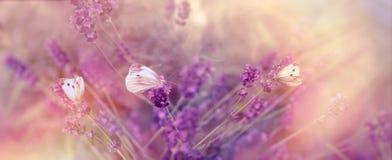 Селективный фокус на бабочках бабочки на лаванде Стоковое фото RF