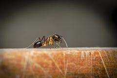 Селективный фокус на большом черном муравье на деревянном поле Стоковое Фото