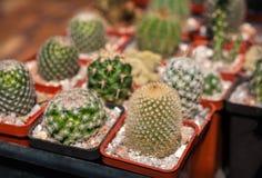 Селективный фокус на различные виды малого кактуса в баках Стоковое Изображение
