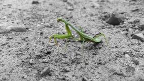 Селективный Mantis Каролины цвета Стоковое Изображение RF
