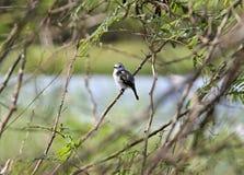 Седоволасый тиран болота, Французские Гвианы Стоковое Изображение RF