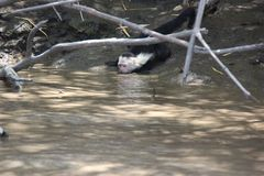 Седоволасый capuchin, выпивая при закрытые глаза Стоковые Изображения RF